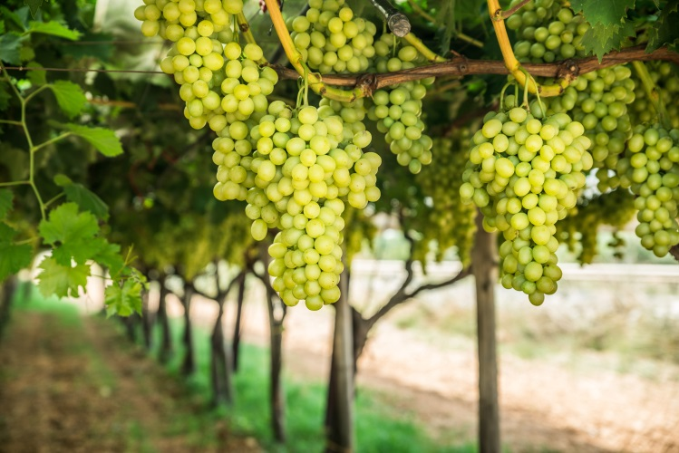 Large ripe clusters of white table grapes on the vine.Vineyard.